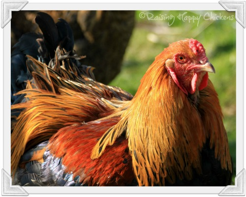 Handsome rooster may annoy your neighbours