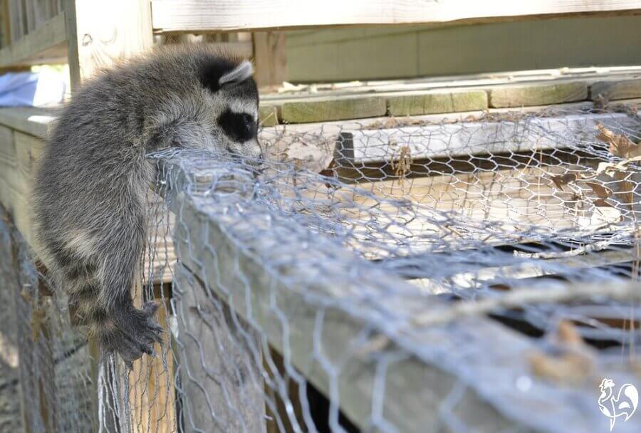One of the worst chicken predators - the raccoon.