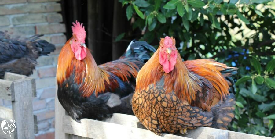 Chickens turn flower pots into dust baths