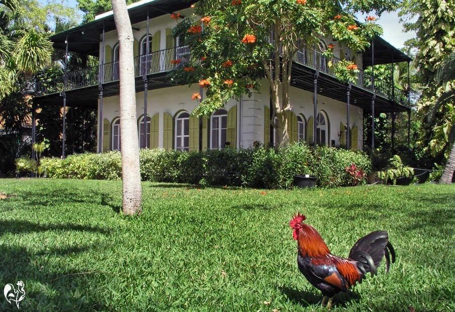 Chickens in a Florida neighbourhood