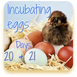 Incubating chicken eggs series, days 20 and 21