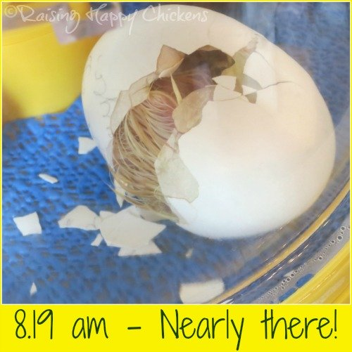 Hatching chick day 21 : the chick is nearly out of the egg