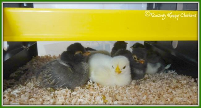 8 day old chicks still need a heat lamp.