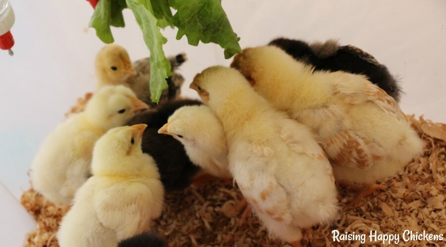 Lettuce is one of the healthy treats you can feed to chicks when they're over a week old. More about chick feed here.