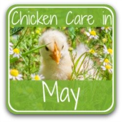 Chicken care in May - link.
