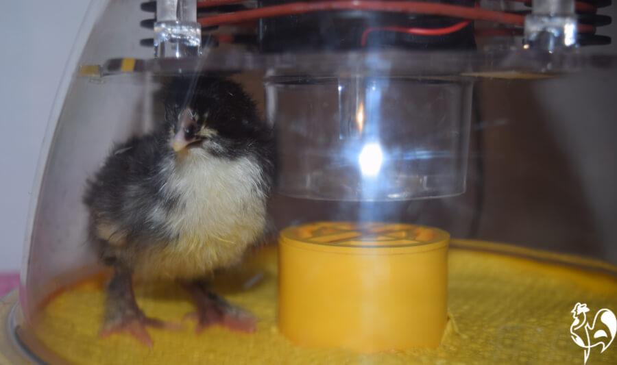 My Brinsea Eco Advance incubator holds 7 eggs.