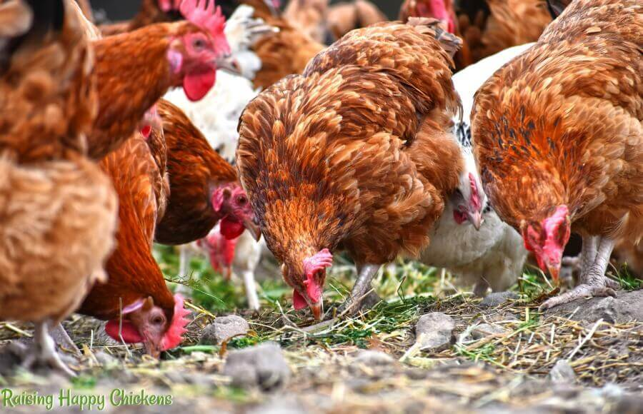 Chickens pick up grit as they free range.