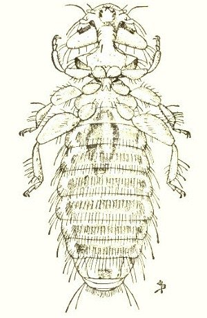 A chicken louse.