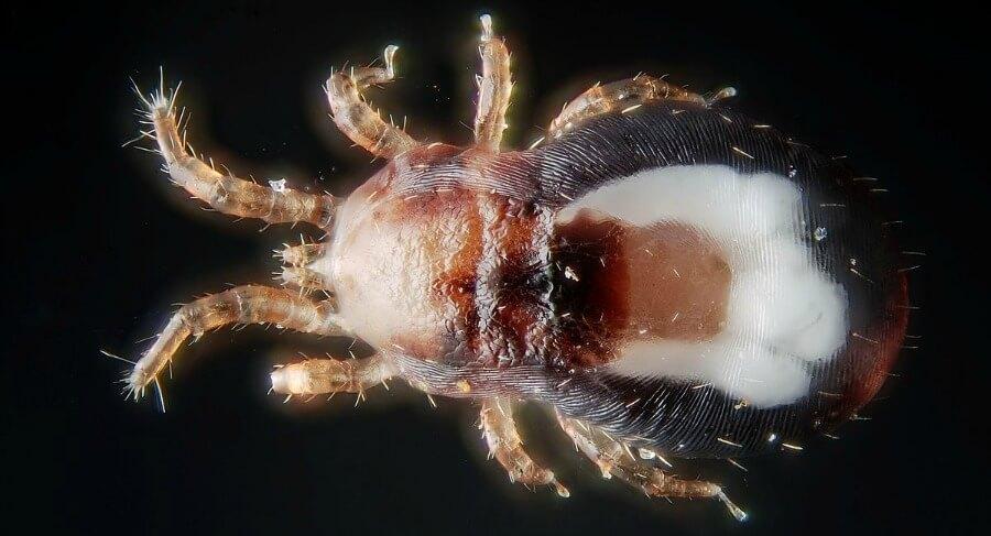 A chicken mite.