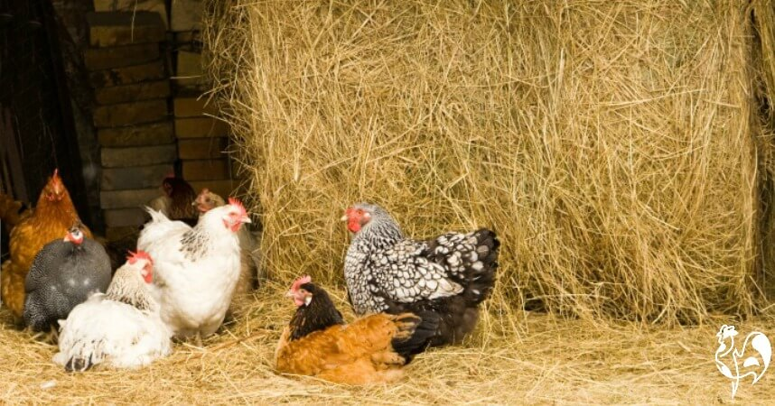Chickens in a barn with straw bales.