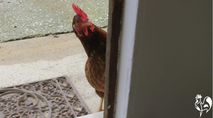 Harriet chicken loved to play