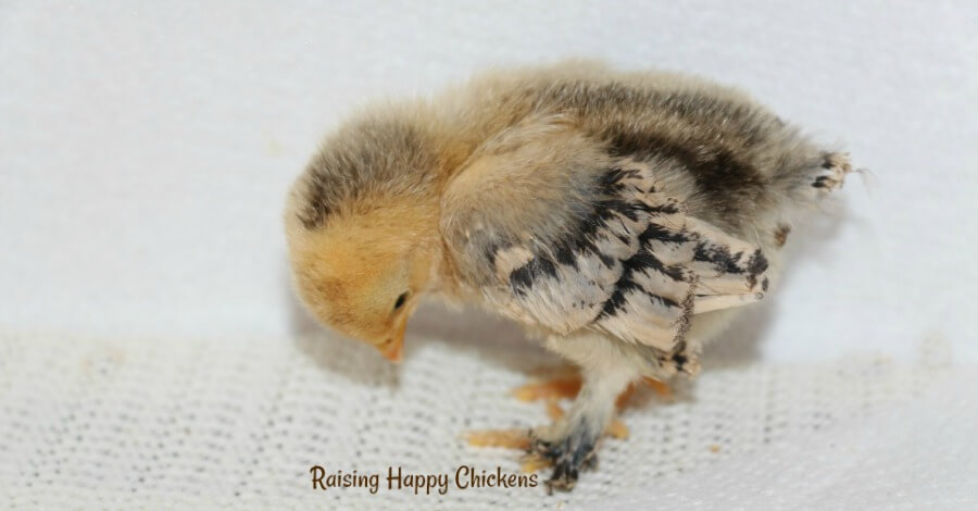 Wing feathers developing in 5 day old chick