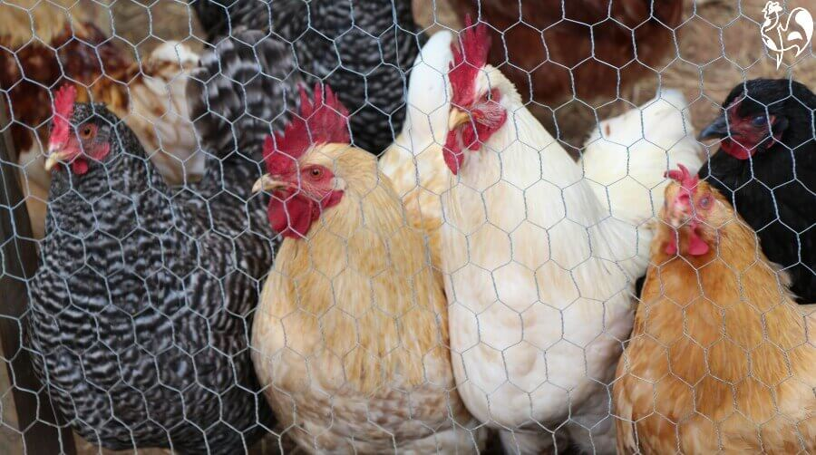 Chicken wire will keep chickens in - but nothing out.