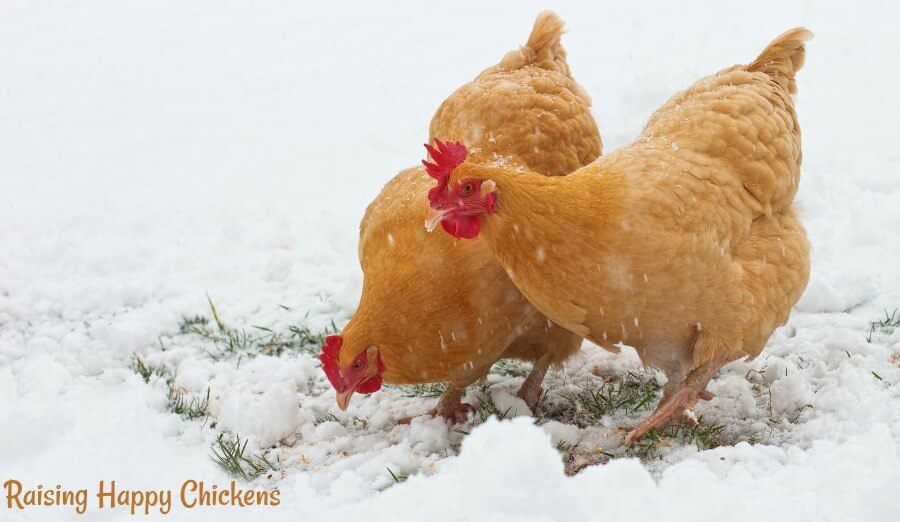A chicken in the snow survives better with high protein treats every now and again.
