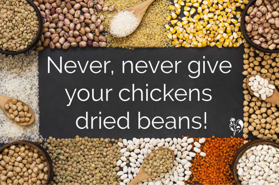 Dried beans are poisonous to chickens.