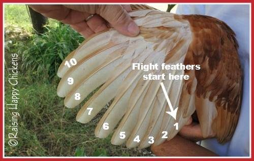Flight feathers in an adult chicken