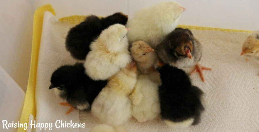 Day old chicks huddled together in brooder.