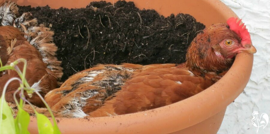 One of my Red Star chickens dust bathing in a plantpot.