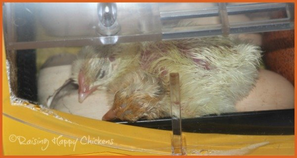 Two newly hatched chicks rest on top of other eggs