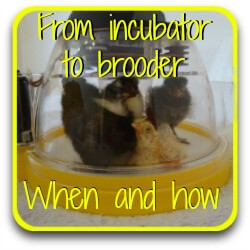 When to move chicks from incubator to brooder - link.