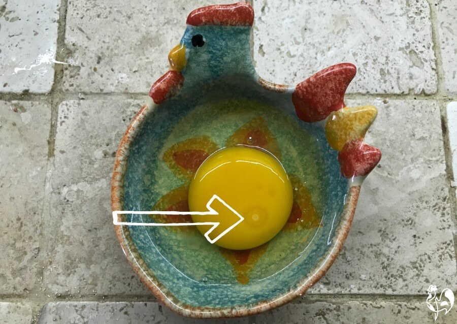A fertile chicken egg.