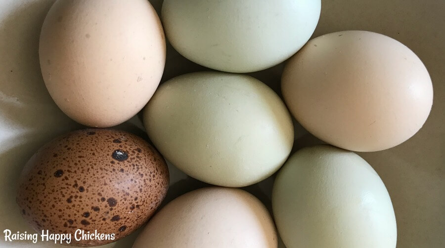 Choosing fertile chicken eggs - make sure they're less than ten days old.