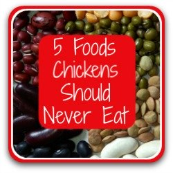 5 things your chickens should definitely never eat - link.