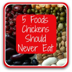 5 poisonous foods for chickens - click here.