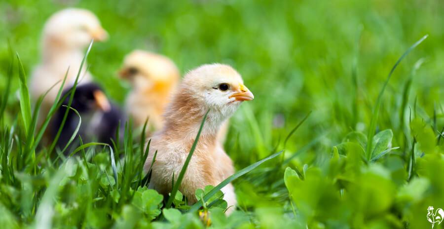Free ranging baby chicks.