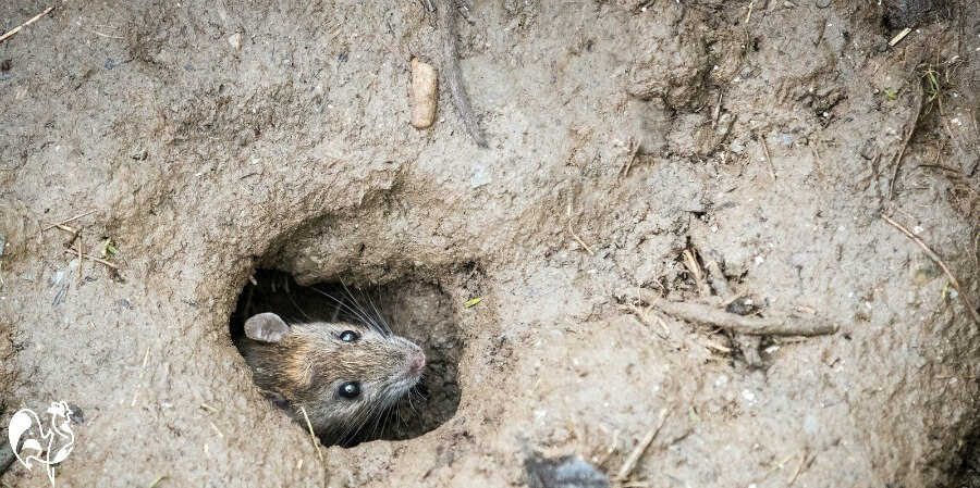 A rat hole - the first sign I had of a rat problem.