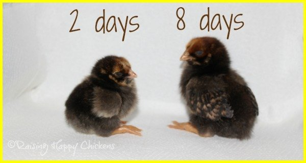Two Golden Laced Wyandotte chicks.
