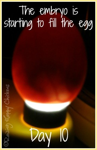 Egg candling at day 10 : the embryo starts to fill the egg