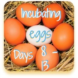 Incubating chicken eggs - days 8 to 13.