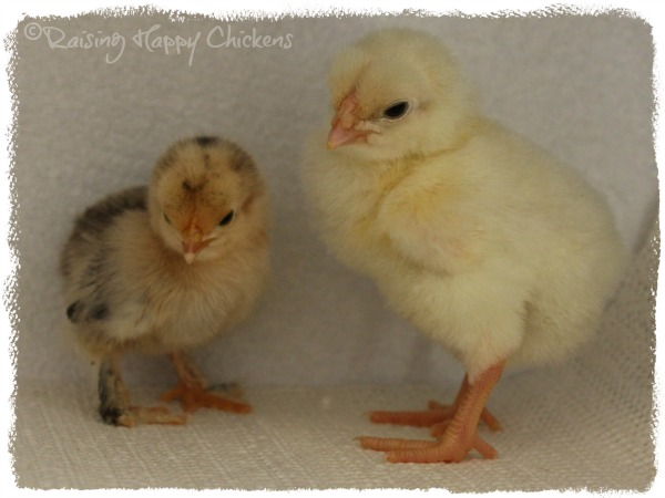Booted bantam and Sussex chicks