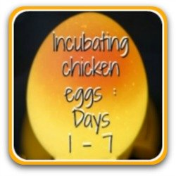 An overview of incubating chicken eggs, days 1 - 7.