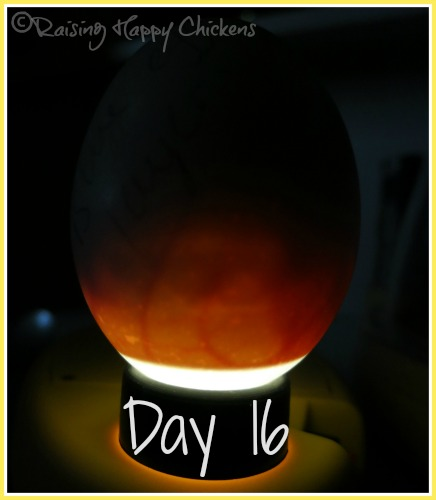 Candling eggs : day 16