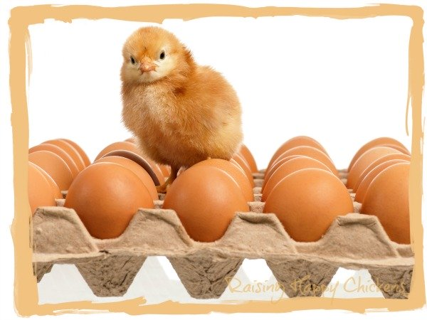 Chick sitting on eggs in an egg carton.