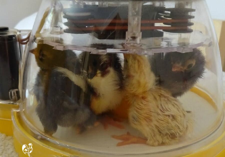 Baby chicks in incubator