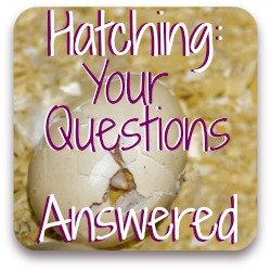 Clickable link to frequently asked questions about hatching chicken eggs.