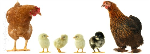Chicks, hen and rooster