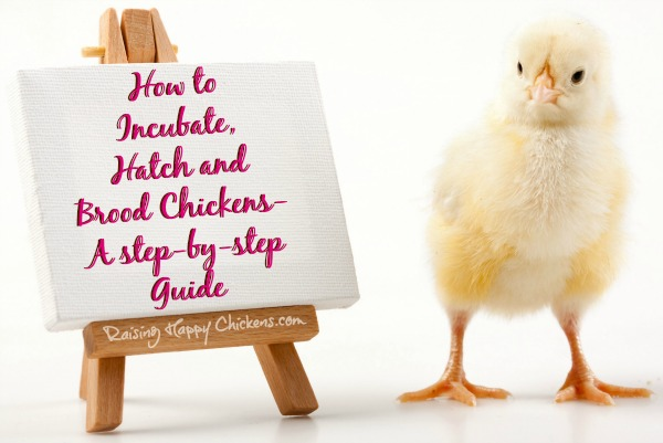 Hatch your own chicks - a step by step guide.