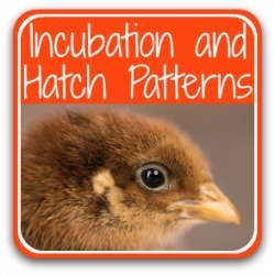 Join my step-by-step guide to incubating and hatching chicken eggs - link.