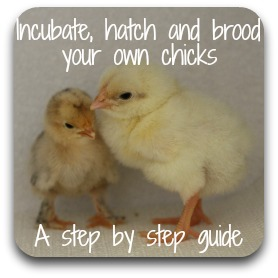 Click here for a step by step guide to incubating and hatching, step by step.