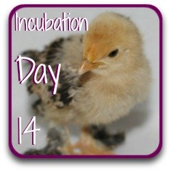A link to day 14 in my series about incubating chicken eggs.