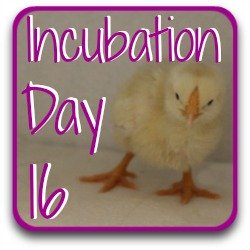 Step back to day 16 of incubation using this link.