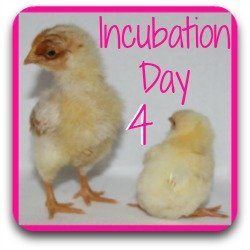Incubating chicken eggs - day 4.