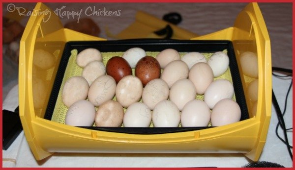 Lie the eggs flat for hatching.