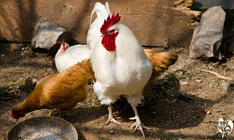 A white male Livorno chicken