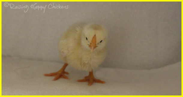 A Light Sussex chicken at 3 days old.