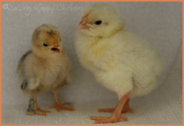 A Lemon Millefleur Sablepoot and a Light Sussex chick, aged three days.